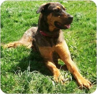 German Shepherd Dog/Rottweiler Mix Dog for adoption in Latrobe, Pennsylvania - Lena