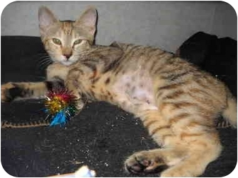 Domestic Shorthair Kitten for adoption in Lake Charles, Louisiana - Sunshine