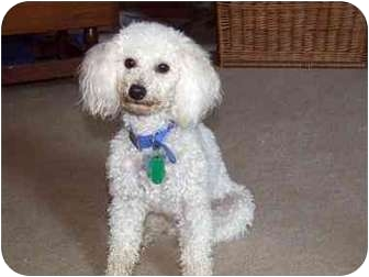 Poodle (Toy or Tea Cup) Mix Dog for adoption in Pembroke pInes, Florida - Lucas