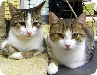 Domestic Mediumhair Kitten for adoption in Alexandria, Virginia - Lewis & Tippy