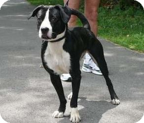 Boxer/Terrier (Unknown Type, Medium) Mix Dog for adoption in Frankfort, Indiana - Ruby
