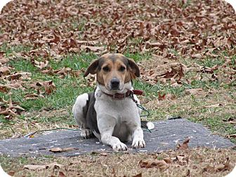 Beagle/Hound (Unknown Type) Mix Dog for adoption in Oakland, Arkansas - Roadie