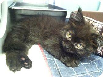 Domestic Shorthair Kitten for adoption in Bradenton, Florida - Checkers