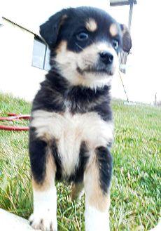Husky/German Shepherd Dog Mix Puppy for adoption in Oswego, Illinois - I'M ADPTD Sled Pup SnoDay Curu