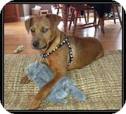 Labrador Retriever Mix Dog for adoption in Windham, New Hampshire - Honey Boy (IN NEW ENGLAND)