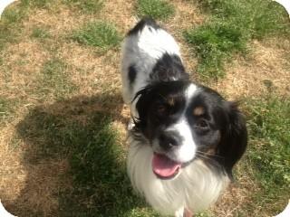 Cavalier King Charles Spaniel/Pekingese Mix Dog for adoption in Greensboro, Georgia - Gabe- Adopted!