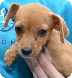 Chihuahua Mix Puppy for adoption in Gainesville, Florida - Beanie