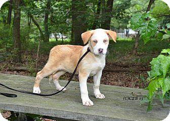 Husky/Golden Retriever Mix Puppy for adoption in Marlton, New Jersey - Blue