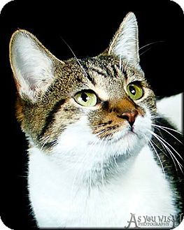 Domestic Shorthair Cat for adoption in Peoria, Arizona - Holly