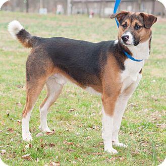 Collie/Australian Shepherd Mix Dog for adoption in New Martinsville, West Virginia - Austin