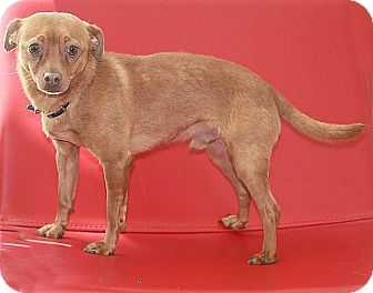 Chihuahua Dog for adoption in Berkeley, California - Sneaker