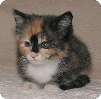 Domestic Shorthair Kitten for adoption in Knoxville, Tennessee - Callie