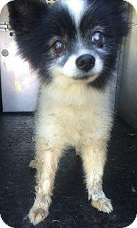 Pomeranian Mix Dog for adoption in Pilot Point, Texas - GIDEON