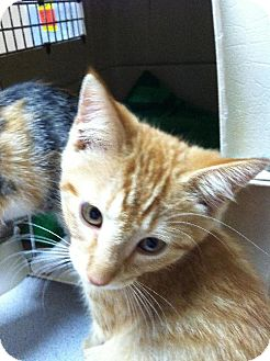 American Shorthair Kitten for adoption in Wilmore, Kentucky - Oscar