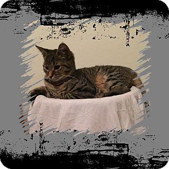 Domestic Shorthair Kitten for adoption in Hampton, Virginia - Mickey