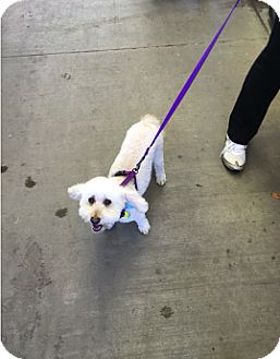 Poodle (Miniature) Mix Dog for adoption in Saddle Brook, New Jersey - Toby