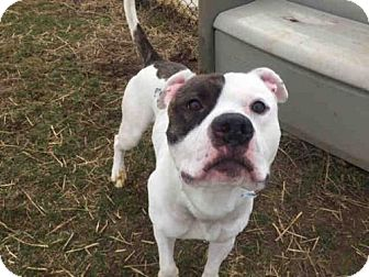 Pit Bull Terrier Dog for adoption in Fulton, Missouri - Scooter *Illinois
