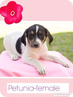 Beagle/Labrador Retriever Mix Puppy for adoption in Hagerstown, Maryland - Petunia (dc)
