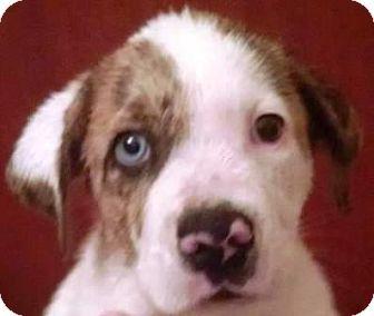 Australian Shepherd/American Bulldog Mix Puppy for adoption in Solebury, Pennsylvania - Baby Bleau