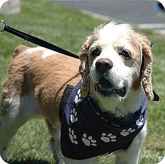 Cocker Spaniel Dog for adoption in Sacramento, California - Morty-ADOPTION PENDING!