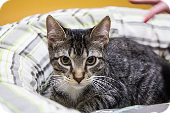Domestic Shorthair Kitten for adoption in Coppell, Texas - Dobby