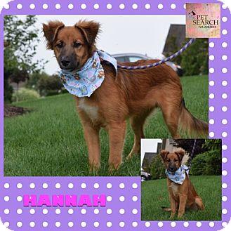 Collie/Shepherd (Unknown Type) Mix Puppy for adoption in Washington, Pennsylvania - Hannah