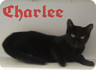 Domestic Shorthair Cat for adoption in Crown Point, Indiana - Charlee