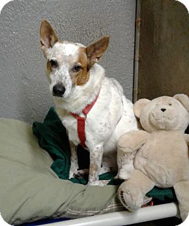 Australian Cattle Dog Mix Dog for adoption in Bronx, New York - Shakira