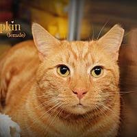 Domestic Shorthair Cat for adoption in Springfield, Pennsylvania - Pumpkin