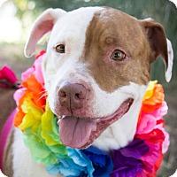 Adopt A Pet :: Coco Bean - Lincoln, CA