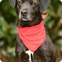 Adopt A Pet :: Bruno - Rancho Palos Verdes, CA