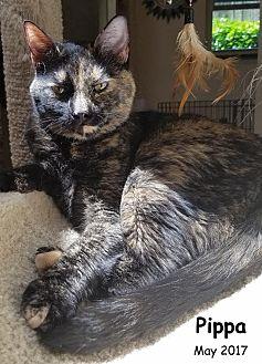 Domestic Shorthair Cat for adoption in Oklahoma City, Oklahoma - Pippa