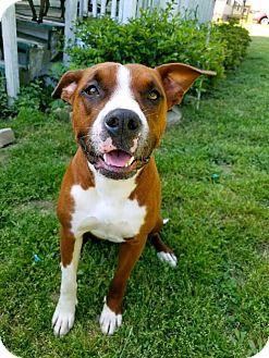 Boxer Mix Dog for adoption in Beacon, New York - Roxie