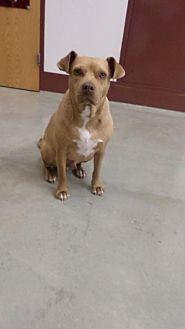 Mountain Cur/Boston Terrier Mix Dog for adoption in Frenchburg, Kentucky - Joshua