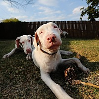 Adopt A Pet :: Aretha - Lubbock, TX