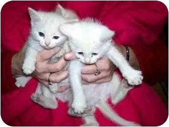 American Shorthair Kitten for adoption in Baltimore, Maryland - Cotton Balls
