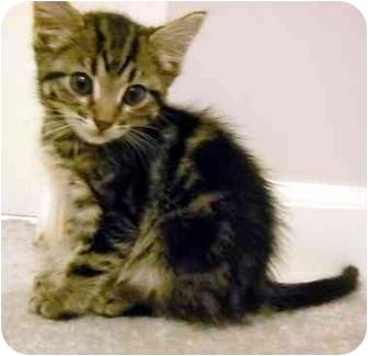 Domestic Mediumhair Kitten for adoption in Overland Park, Kansas - Amber