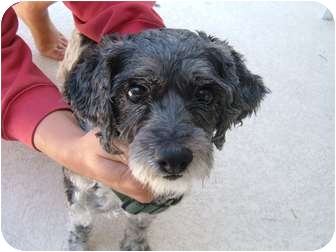 Poodle (Miniature)/Cocker Spaniel Mix Dog for adoption in Miami-Dade and Naples/Ft Myers areas, Florida - SKYLER