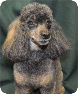 Poodle (Toy or Tea Cup) Dog for adoption in Elk River, Minnesota - DAISY
