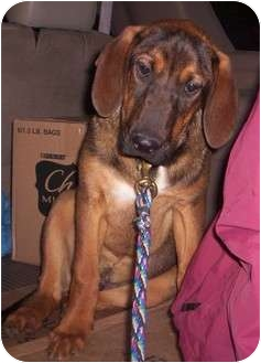 Bloodhound/Shepherd (Unknown Type) Mix Dog for adoption in Portland, Maine - Duke