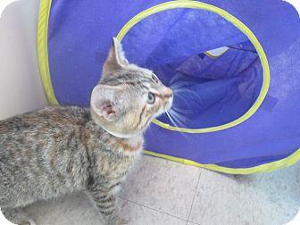 Domestic Shorthair Kitten for adoption in Bradenton, Florida - Dori