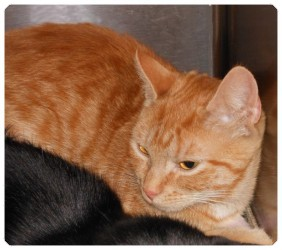 Domestic Shorthair Cat for adoption in Raritan, New Jersey - Amber