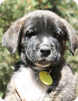 Boxer/Shepherd (Unknown Type) Mix Puppy for adoption in Westminster, Colorado - Leroy