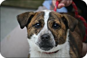 Corgi/Jack Russell Terrier Mix Dog for adoption in Anderson, Indiana - Emily