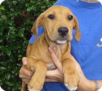 Golden Retriever/Labrador Retriever Mix Puppy for adoption in Oviedo, Florida - Emily