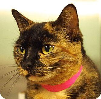 Domestic Shorthair Cat for adoption in Daytona Beach, Florida - Zella