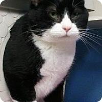Adopt A Pet :: Tux - Anchorage, AK