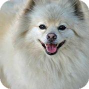 Pomeranian Dog for adoption in Austin, Texas - Sancho Pancho