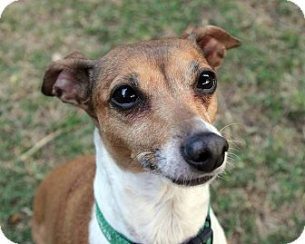 Italian Greyhound Dog for adoption in Argyle, Texas - Felicity in Austin