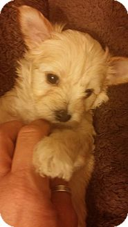 Toy Poodle/Yorkie, Yorkshire Terrier Mix Puppy for adoption in Inland Empire, California - TRACY